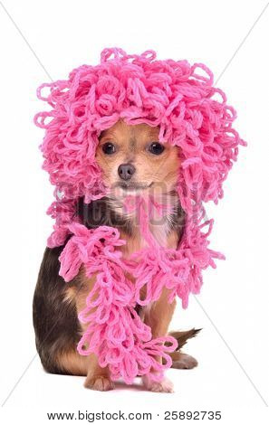 Chihuahua puppy wearing knitted curly pink hat and scarf against white background