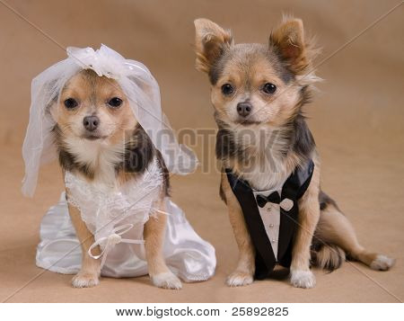 A male and a female chihuahua dressed as a bride and groom, isolated
