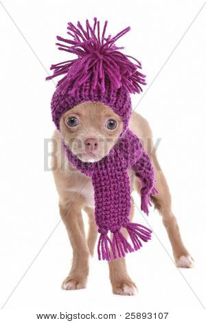 Adorable chihuahua puppy wearing purple hat and scarf isolated