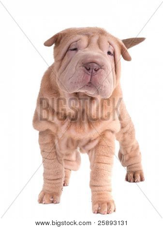 Sharpei puppy standing looking at camera isolated on white background