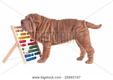 Sharpei puppy counting with abacus isolated on white background