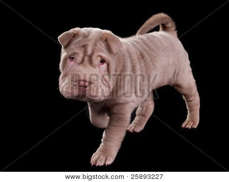 Adorable sharpei puppy walking isolated on white background
