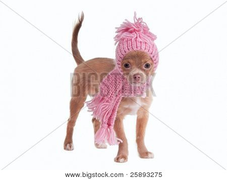 Chihuahua puppy wearing pink scarf and hat isolated on white background