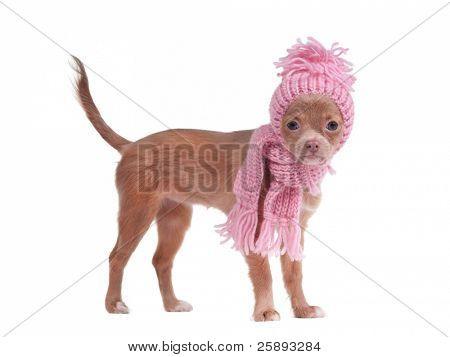 Chihuahua puppy with pink scarf and hat looking aside