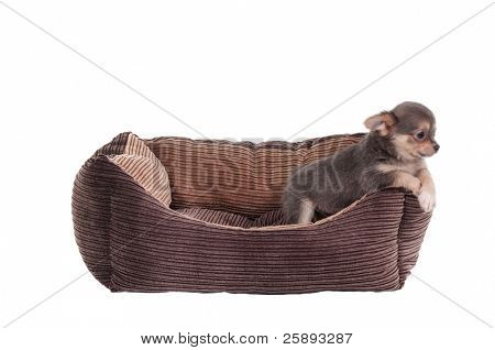 Chihuahua puppy playing in a brown cot isolated on white background