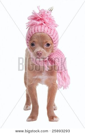 Chihhuahua puppy with pink scarf and hat on white background
