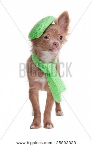 Chihuahua puppy with green beret and scarf isolated on white background