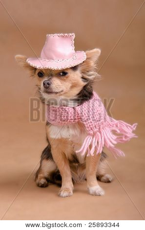 Elegant chihuahua puppy wearing pink hat and scarf isolated on white background