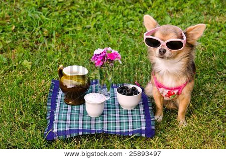 Little chihuahua dog wearing pink t-shirt relaxing in meadow picnic
