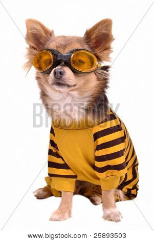 Small chihuahua dog wearing suit and goggles isolated on white background