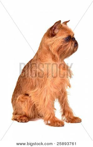 Dog of Griffon Bruxellois breed, studio shot
