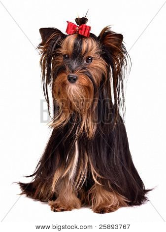 Adorable Yorkshire Terrier girl, isolated on white background