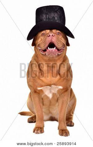 Gentleman dog wearing old-fashioned black hat