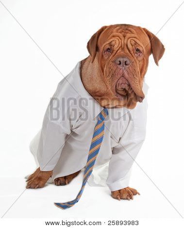 Dog dressed like businessman with shirt and tie