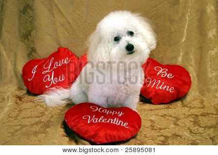 Beau, a Bichon Frise sits on a golden background with Valenties Day pillows