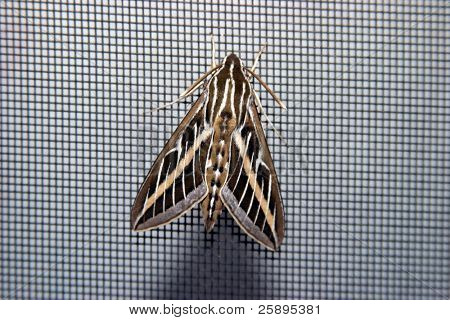 a moth sits on a small mesh gray screen showing that even a lowly moth can be a thing of great beauty