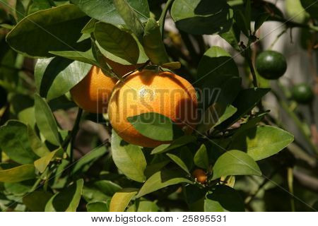 honey manderin oranges grow on a tree with bright green leaves in the summer sun