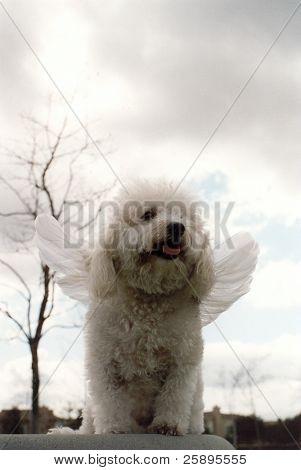 Beau se extiende de un Bichon Frise sus alas mientras está parado sobre una roca y piensa sobre cómo alegre no es