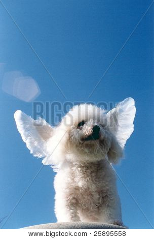 Beau a Bichon Frise streches his wings while standing upon a cliff and dreams of days when dogs could fly