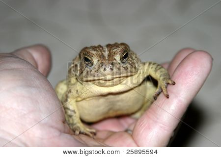 a toad sits in my hand one evening waiting for me to take its picture