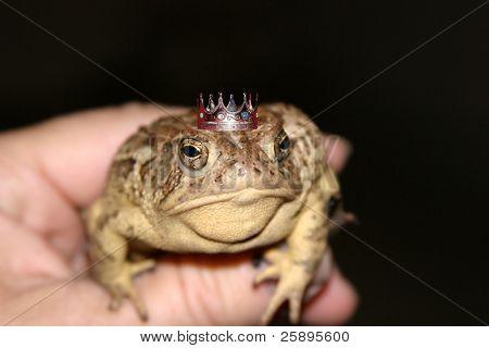 eine Kröte sitzt in der Hand eines Abends showing off seine Krone und beweist seine wirklich ein Handsmome Prinz w