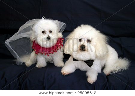 Fifi and Beau both Bichon Frise's look stunning in their wedding outfits against a dark blue background