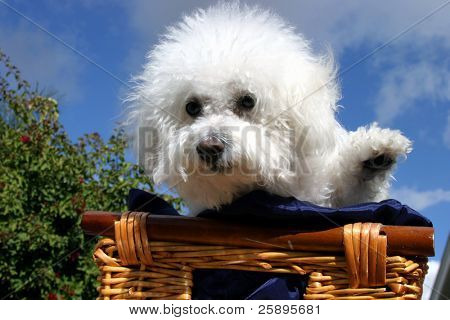 Fifi the Bichon Frise sits and waves at you the viewer while in a wooden basket covered with dark blue silk material with a blue sky and white fluffy clouds in the background