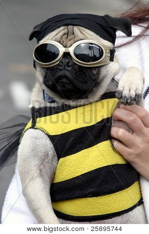 a small dog (a pug), wears a bee costume with goggles during a parade