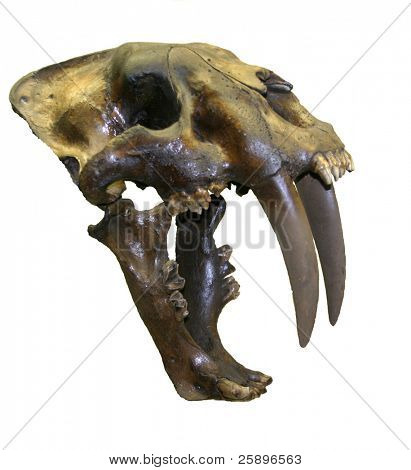 cropped on a white background skull of a Real Saber Tooth Tiger!