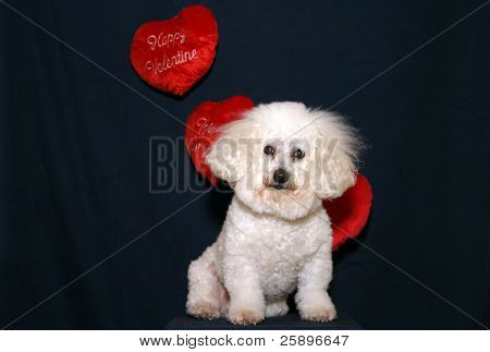 Beau a Bichon Frise, poses on a pedestal with hanging Valentine Day Hearts