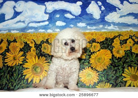 Beau a Bichon Frise. Sits in front of one of my Origional Paintings