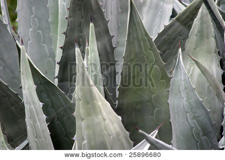 Blue Agave plant, the same plant that Tequila is made from