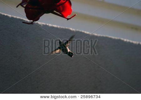 ein Kolibri schwebt auf einem Zubringer