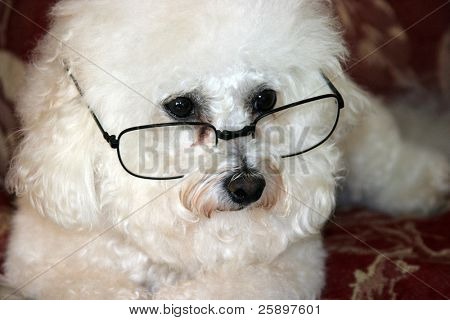 a close up of fifi a Bichon Frise wearing her reading glasses