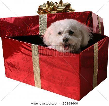 Fifi, un Bichon Frise sonríe mientras mira hacia fuera de un regalo de Navidad roja con cinta dorada y un ir