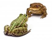 Common European frog or Edible Frog, Rana kl. Esculenta, facing a common toad or European toad, Bufo