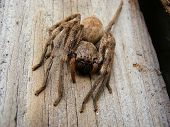 image of huntsman spider  - Close up of a hairy Huntsman spider on a plank in the back yard of the photographer - JPG