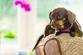 Little Dachshund Purebreed Long Bodied Short Legged Small Dog Sitting Relaxing And Chilling On Sofa  poster