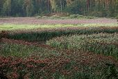 picture of sand lilies  - sunrize on marsh river  - JPG