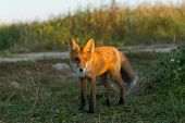 A Cute, Young, Fiery, Red Fox Cub Is Lit By The Evening Sun, Against The Background Of Grass. He Loo poster