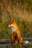A Cute, Young, Fiery, Red Fox Cub Sits, Lit By The Evening Sun, Against The Background Of Grass. Loo poster