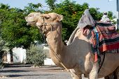 Close Up Of Camel Mammal Shot On The Street poster
