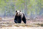 Wild Brown Bear Walking In The Taiga In Late Winter poster