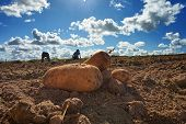 Fresh Harvested Potatoes On The Field, Dirt After Harvest At Organic Family Farm. Blue Sky And Cloud poster