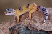 Постер, плакат: Леопард Gecko облизывая губы