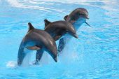 foto of bottlenose dolphin  - Three bottlenose dolphins performing a leap in formation in a show - JPG