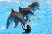 stock photo of grampus  - A trio of dolphins leaping over a pole held by a trainer - JPG