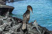 Galapagos wildlife bird flightless cormorant aka galapagos cormorants drying wings by ocean with mar poster