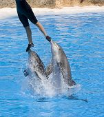picture of grampus  - Dolphins leaping and lifting trainer in a show - JPG