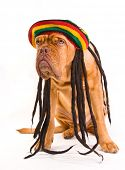 stock photo of rastaman  - Funny Dog in Rastafarian Hat with Dreadlocks - JPG